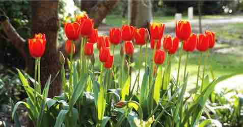Nannup accomodation Holberry House Tulips Garden