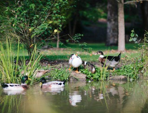 Resident Ducks